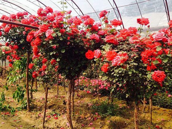 【山东青州月季树种植基地 月季树价格】