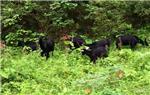 野生黑山羊