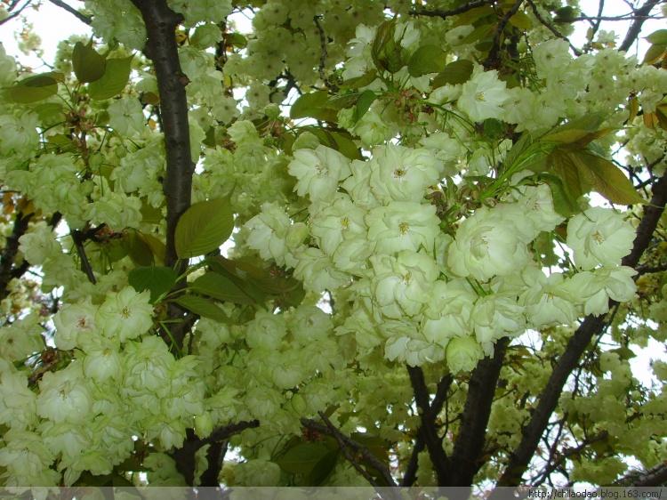 泰安美国绿樱花树苗——为园林点缀景色(图)