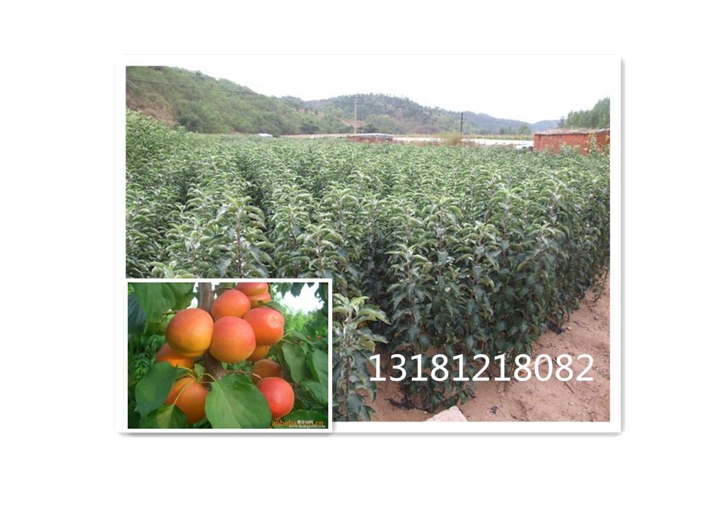 鑫诚苗木出售优质的苹果苗,淮南苹果苗
