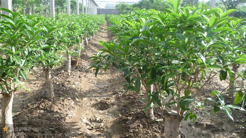 【315推荐】山东专业的桂花树种植基地—太平桂花品质保证