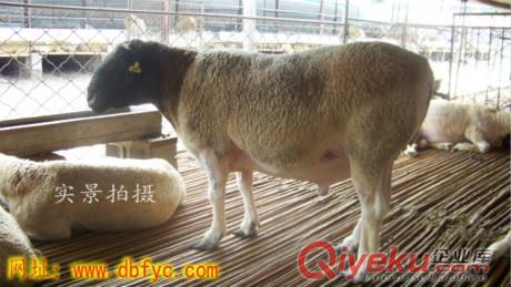 内蒙古养50只杜泊羊大约需要多少钱